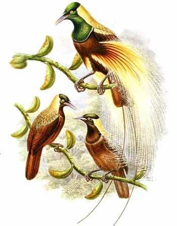 Практически все райские птицы являются лесными обитателями, лишь.