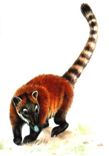 What is it ? - Page 3 Coati