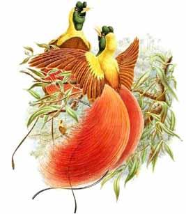 """Paradisaea apoda, то есть  """"райская безногая """" Вильсоновая райская птица - Diphyllodes respublica Райская птица короля..."""